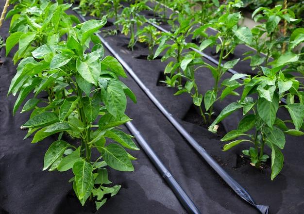 Arbustos de pimentão, cultivados em tecido de polipropileno spunbond de proteção.