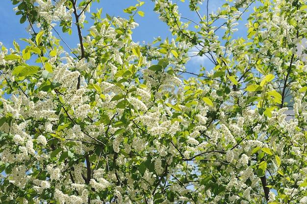 Arbustos de primavera pássaro cereja está florescendo