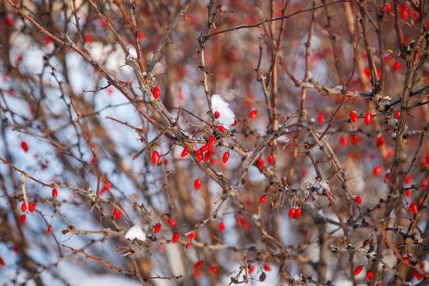 Arbustos de quadris com bagas vermelhas no campo de inverno.