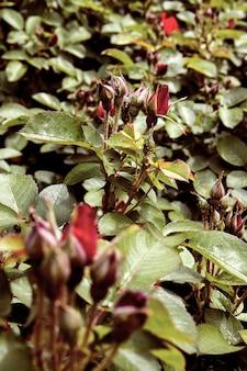 Arbustos de rosas vermelhas com botões fechados