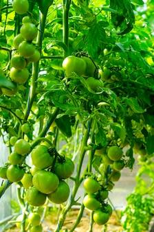 Arbustos de tomate com frutas verdes em estufa.