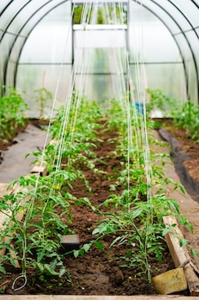 Arbustos de tomate na estufa, cuidados e apoio ao tomate, proteção contra intempéries