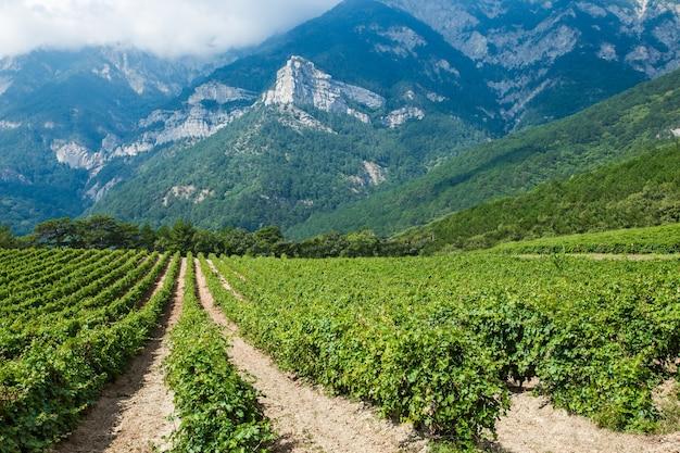 Arbustos de videiras em plantação de campo, uvas crescem em áreas montanhosas contra o fundo de rochas