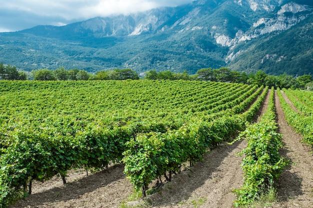 Arbustos de videiras em plantação, uvas crescem em áreas montanhosas contra um fundo de rochas