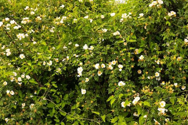 Arbustos florescendo de rosa selvagem com flores brancas. foco seletivo.
