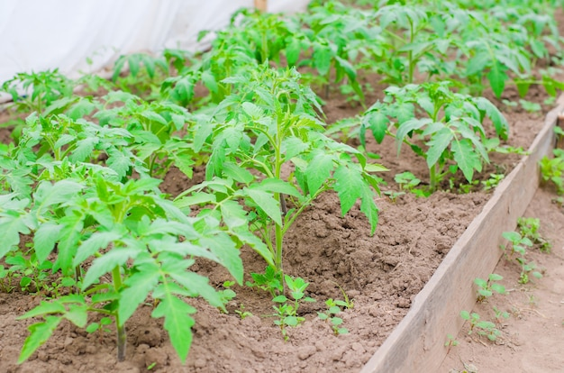 Arbustos novos do tomate na terra na estufa.