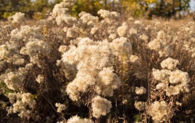 Arbustos secos de flores secas