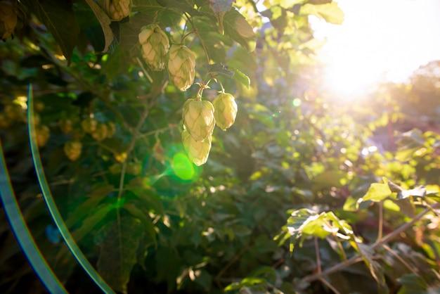 Arbustos verdes de floração lúpulo à luz do sol