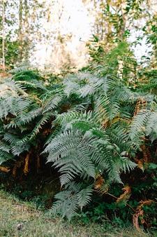 Arbustos verdes de samambaia na floresta. ramos de samambaia.