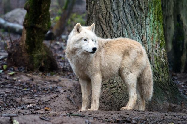 Arctic wolf (canis lupus arctos), também conhecido como polar wolf