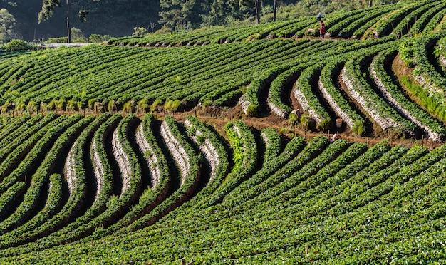 Área agrícola da terra da morango no doi chiang mai tailândia