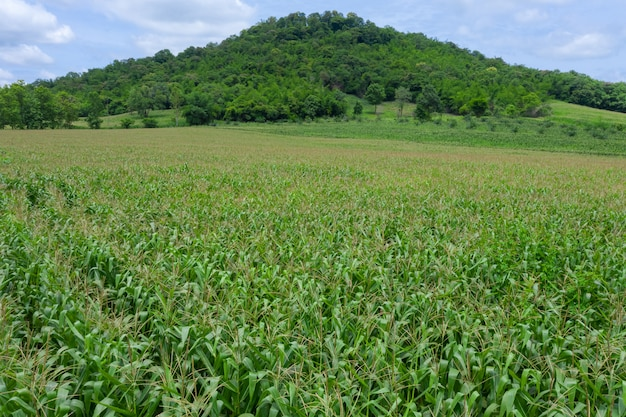 Área agrícola, florescendo, campos milho verde, de, agricultor