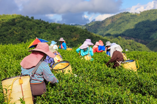 Área de chá verde agrícola e agricultor no doi chaing rai tailândia