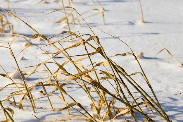 Área pantanosa coberta de neve com grama seca amarelada, close-up no inverno