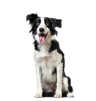 Arfar border collie cachorro sentado