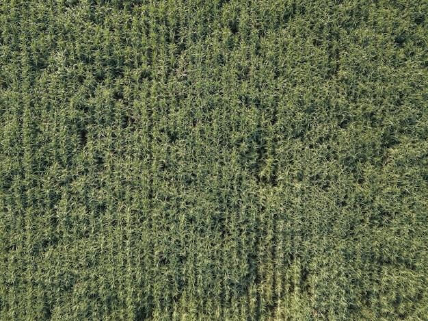 Arial vista dos campos de cana-de-açúcar crescendo na tarde com sombra de nuvens e natureza ... fundo de agricultura de conceito