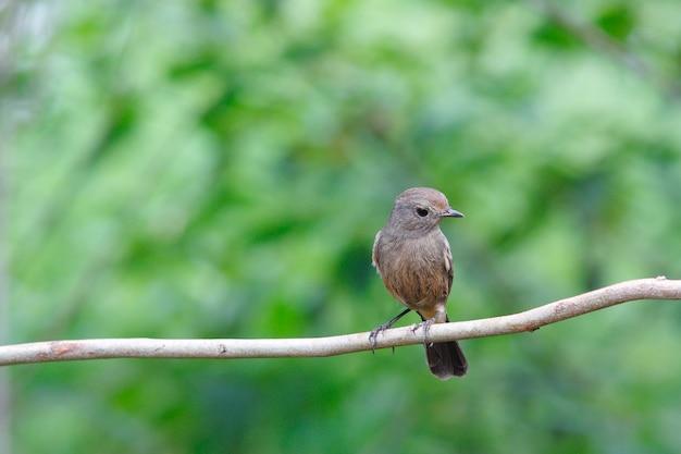 Arlequim bushchat saxicola caprata belas aves fêmeas da tailândia