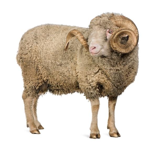 Arles merino ovelha, carneiro, em pé