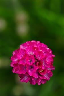 Armeria vulgaris flores silvestres na primavera Foto Premium