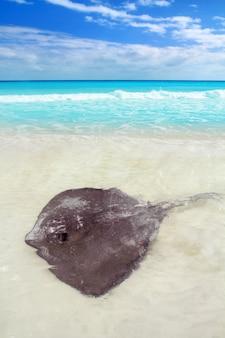 Arraia dasyatis americana na praia do caribe