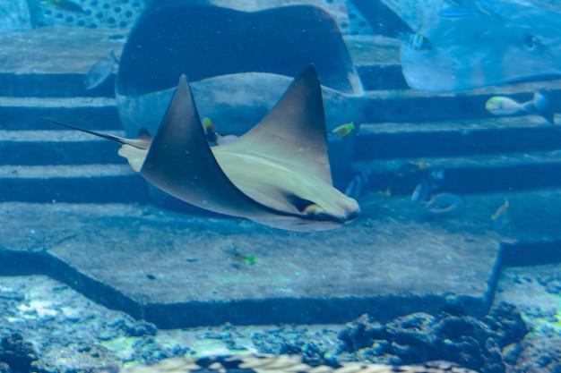 Arraia nadando debaixo d'água. a arraia também é chamada de gatos marinhos e é encontrada em águas temperadas e tropicais. atlantis, sanya, ilha de hainan, china.