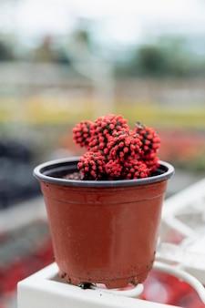 Arranjo com flor de cacto vermelho em pote