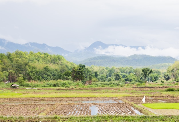Arroz agrícola