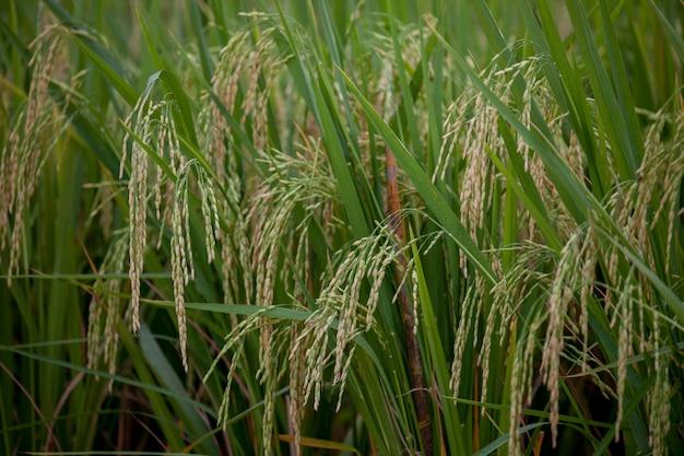 Arroz branco tailandês (arroz de jasmim)