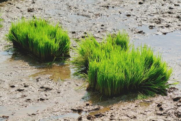 Arroz brota, arroz mudas, no campo de arroz.