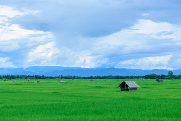Arroz, campo, grama verde, céu azul, nuvem, nublado, paisagem, fundo