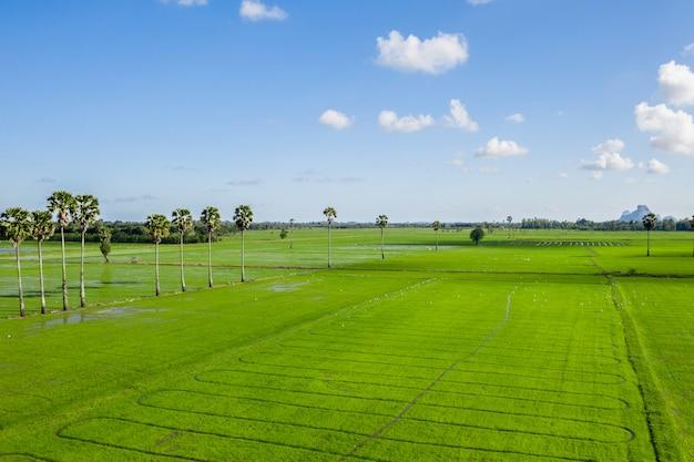 Arroz campo grama verde céu azul nuvem nublado paisagem