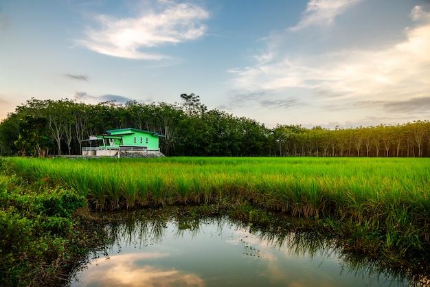 Arroz campo rural com casa verde no crepúsculo