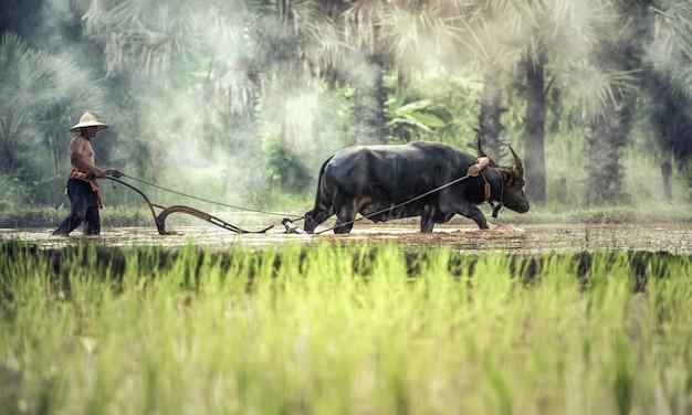 Arroz cultivando com búfalo