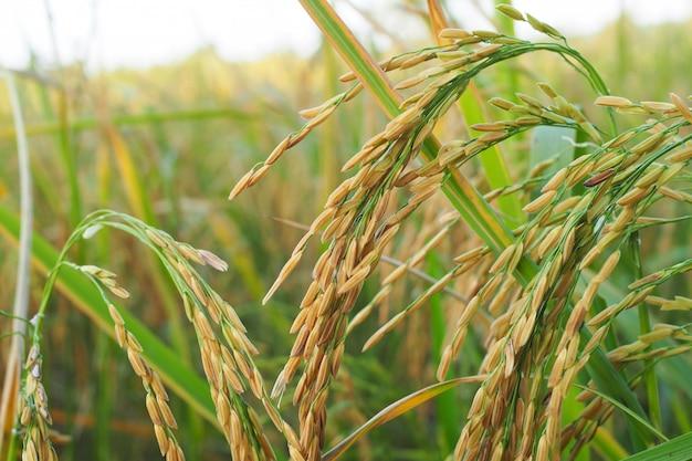 Arroz de arroz em ouro no campo