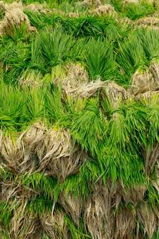 Arroz de corte campo de arroz na fazenda indiana