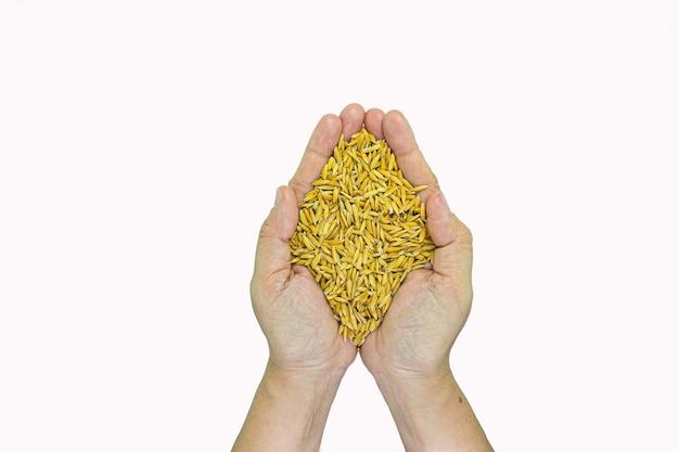 Arroz de jasmim do campo nas mãos de agricultor de mulher