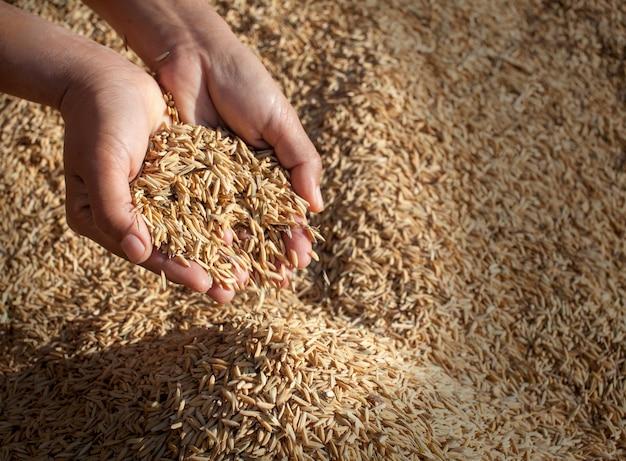 Arroz de jasmim do campo nas mãos do fazendeiro