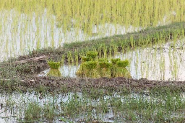 Arroz do rebento, campo em rural, tailândia do arroz.