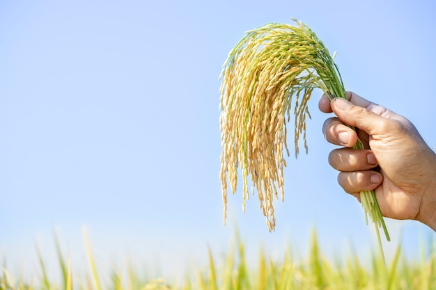 Arroz dourado, lindo nas mãos dos agricultores. o produto que o agricultor destina aos consumidores