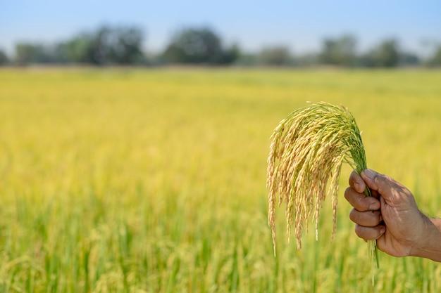 Arroz dourado, lindo nas mãos dos agricultores.