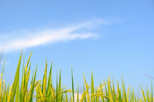 Arroz é crescimento nos arrozais.