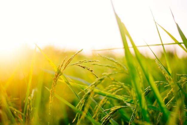 Arroz em casca bonito no campo com por do sol.