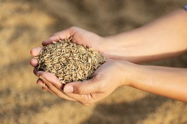 Arroz em casca nas mãos do agricultor.