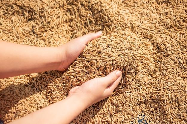 Arroz na colheita, o arroz amarelo dourado na mão, fazendeiro carregando o arroz na mão, arroz.