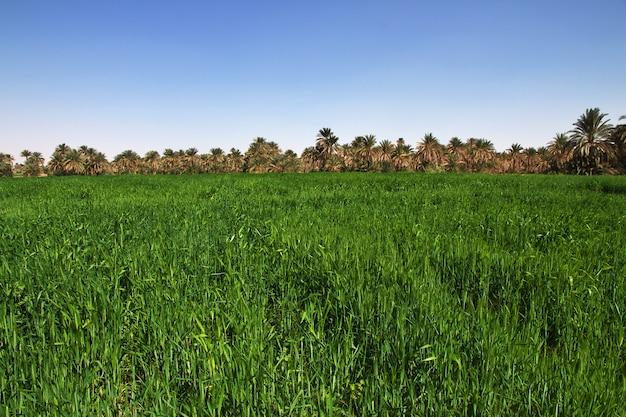 Arroz na pequena vila no rio nilo, sudão