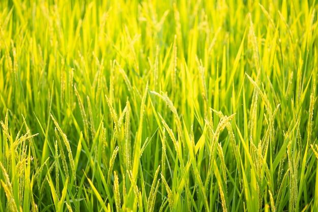 Arroz no teste de conversão de campo no norte da tailândia, cor amarela de arroz, close-up de grãos, natureza abstrata