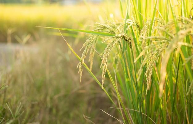 Arroz no teste de conversão de campo no norte da tailândia, cor amarela do arroz e espaço da cópia