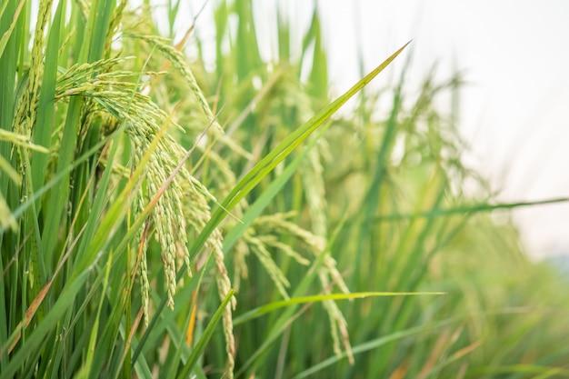 Arroz no teste de conversão de campo no norte da tailândia, natureza do crescimento do arroz, cor verde dos grãos