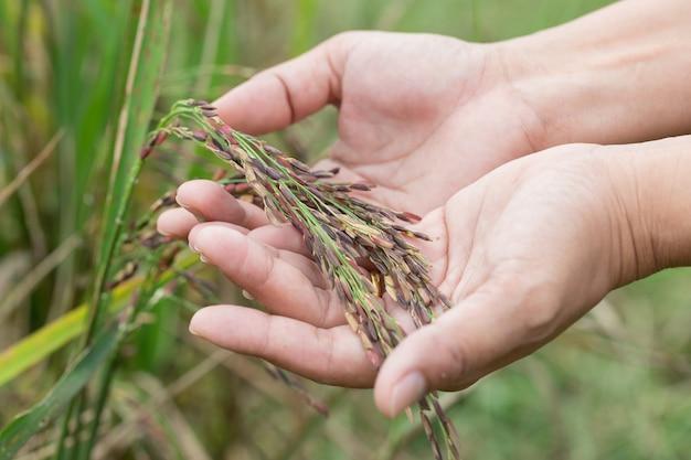 Arroz riceberry na mão