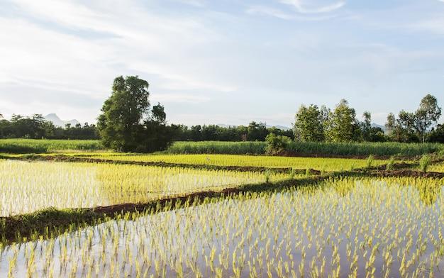 Arroz tailandês arquivado crescendo na fazenda